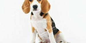 عکس با کیفیت تبلیغاتی سگ نشسته با نژاد بیگل در بک گراند سفید