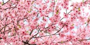 عکس با کیفیت تبلیغاتی درخت شکوفه های کوچک صورتی زیبا