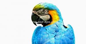 عکس با کیفیت تبلیغاتی طوطی ماکائو آبی با بک گراند سفید