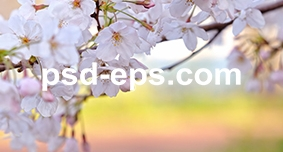 گل بهار گیلاس